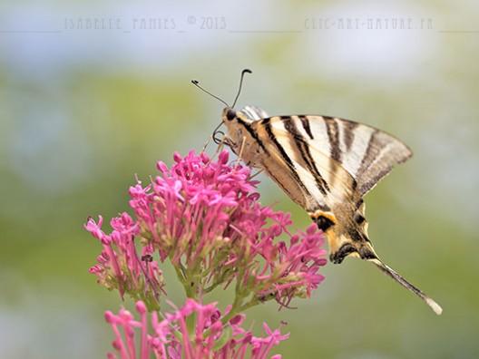Macrophotographie Photographie Nature Artistique Papillon Flambé