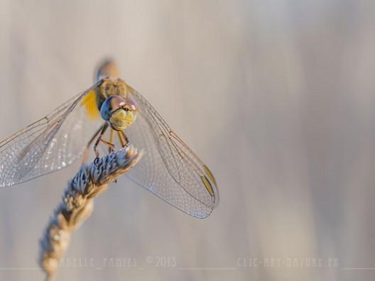 Macrophotographie Photographie Nature Artistique Libellule