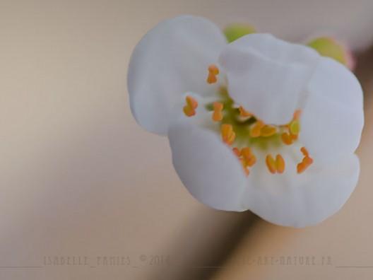 Macrophotographie Photographie Nature Artistique Fleur Prunelier