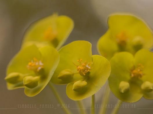 Macrophotographie Photographie Nature Artistique Euphorbe