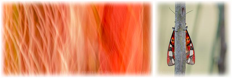 Macrophotographie Photographie Nature Artistique Macrophotographie Macrophotography Epicallia villica Ecaille fermière Papillon