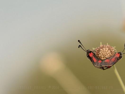 Macrophotographie Photographie Nature Artistique Macrophotographie Macrophotography Papillon Zygène