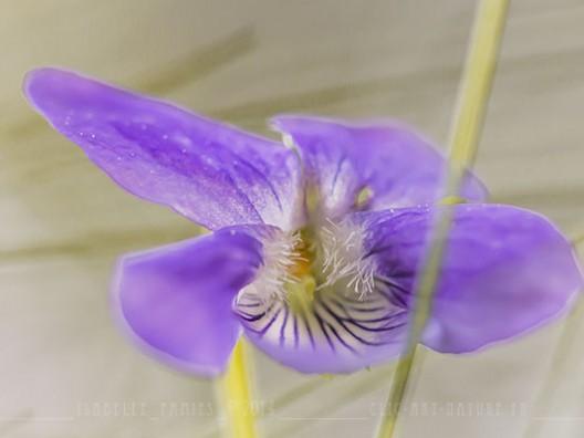 Violette Macrophotographie Photographie Nature Artistique
