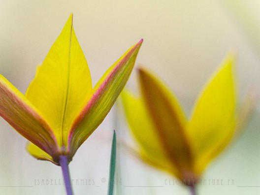 Macrophotographie Photographie Nature Artistique Macrophotographie Macrophotography Tulipe sauvage