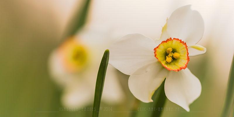 Macrophotographie Photographie Nature Artistique Narcisse