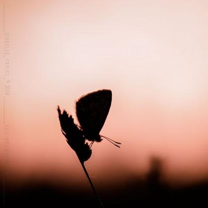 Papillon du soir