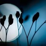 La tisseuse des Lampsanes