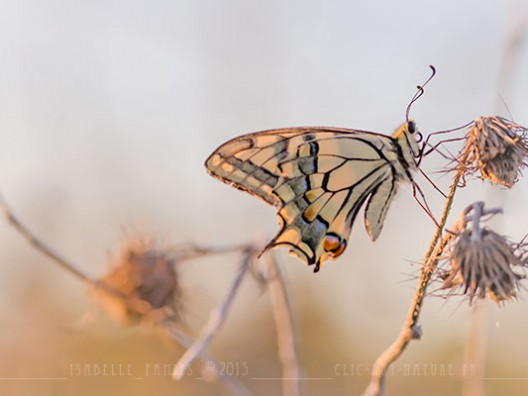 Macrophotographie Photographie Nature Artistique Macrophotographie Macrophotography Grand Machaon