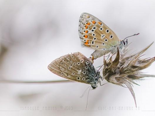 Accouplement azuré Macrophotographie Photographie Nature Artistique Macrophotographie Macrophotography