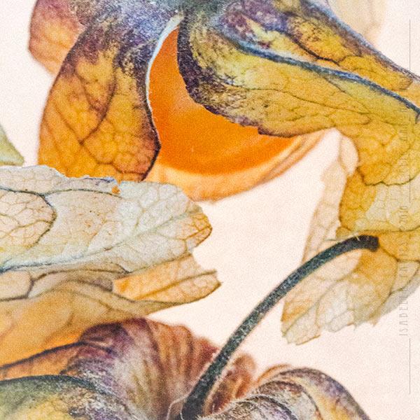 L'amour en cage Physalis Macrophotographie Photographie Nature Artistique Macrophotographie Macrophotography