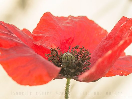 oquelicot Macrophotographie Photographie Nature Artistique Macrophotographie Macrophotography