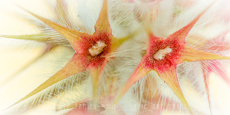 Trèfle étoilé Macrophotographie Photographie Nature Artistique Macrophotographie Macrophotography