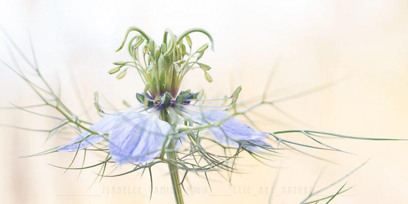 Nigelle des champs Macrophotographie Photographie Nature Artistique Macrophotographie Macrophotography