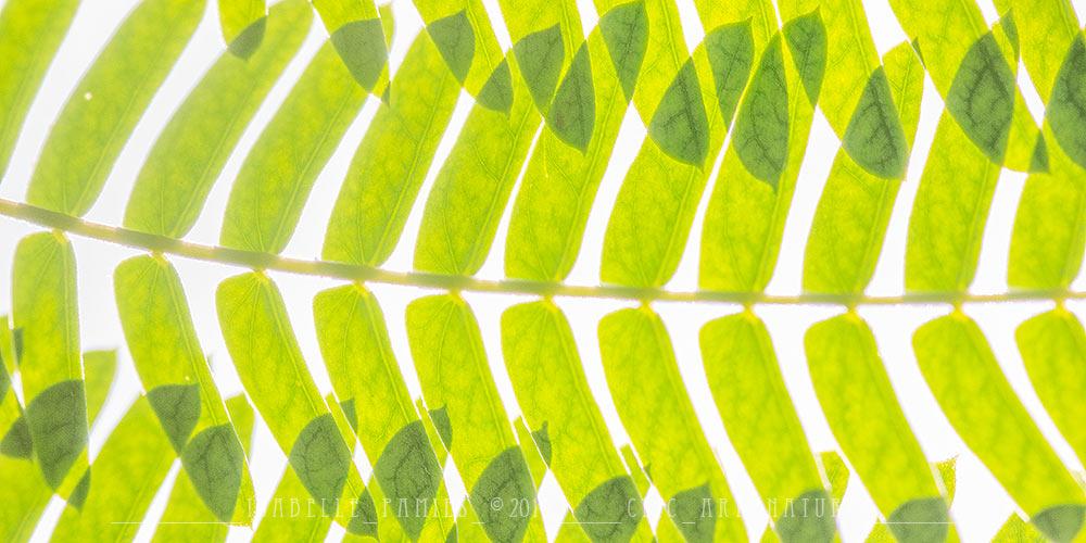Albizia Macrophotographie Photographie Nature Artistique Macrophotographie Macrophotography