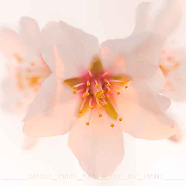 Macrophotographie Photographie Nature Artistique Macrophotographie Macrophotography Fleur d'amandier
