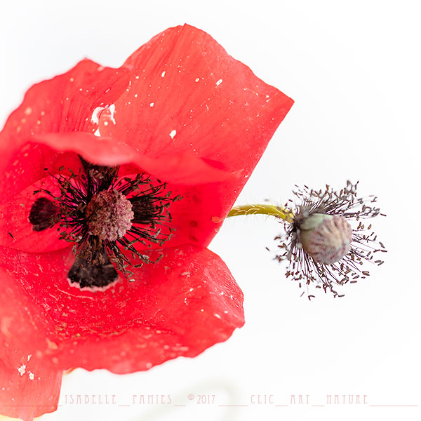 Coquelicot Macrophotographie Photographie Nature Artistique Macrophotographie Macrophotography